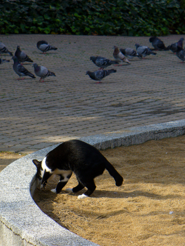 公園砂場の黒白猫2