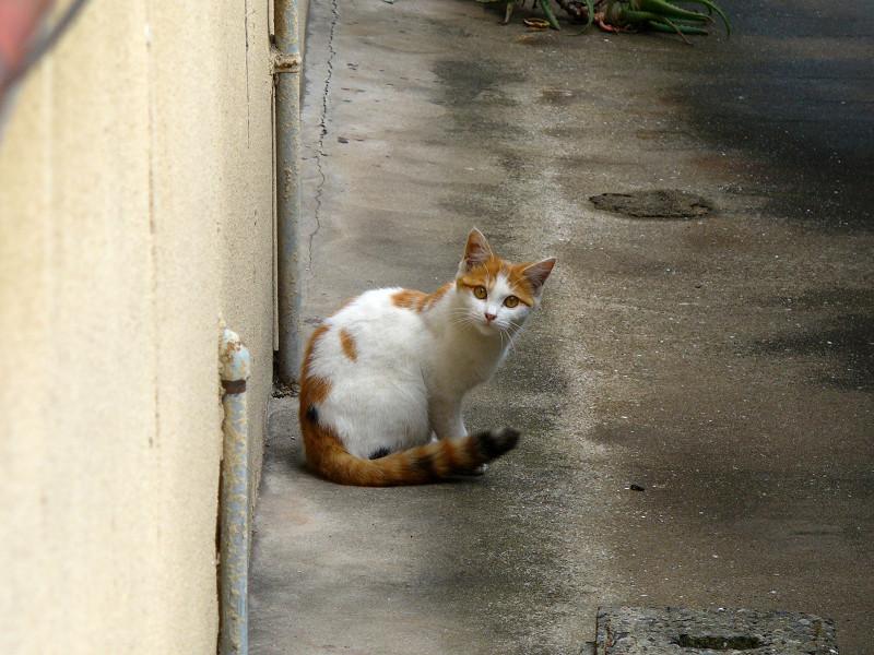振り返った白茶猫3