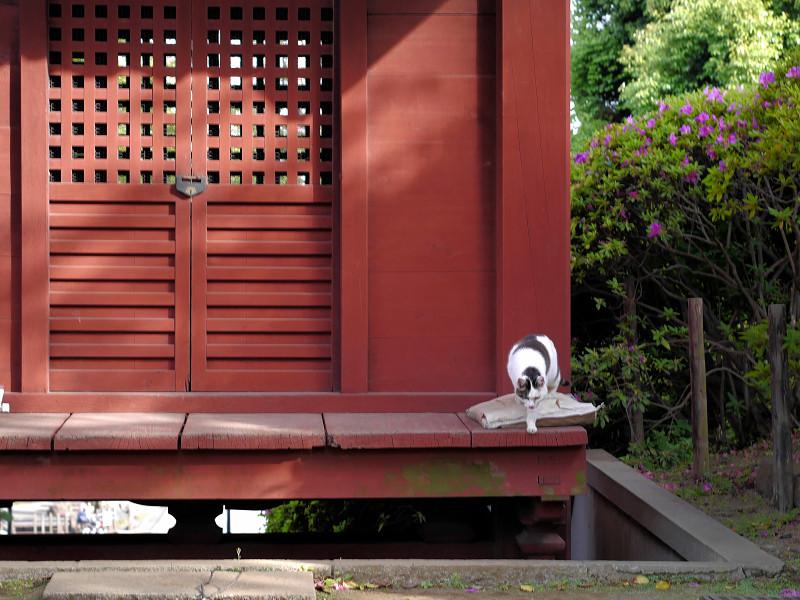 朱色の門と白キジ猫1
