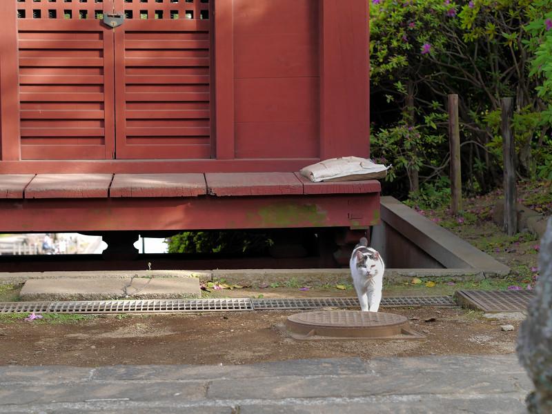朱色の門と白キジ猫2