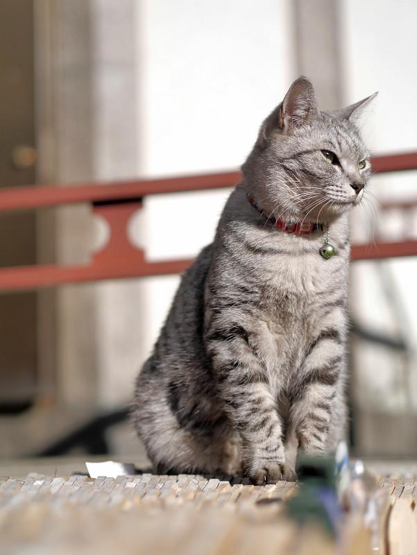 すくっと座るサバトラ猫2