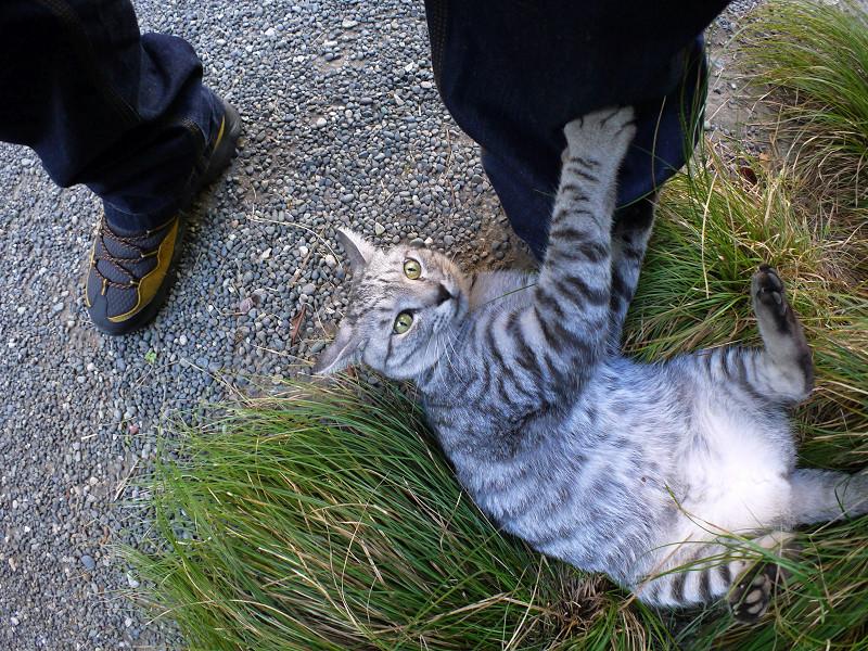 草に乗って暴れるサバトラ猫2