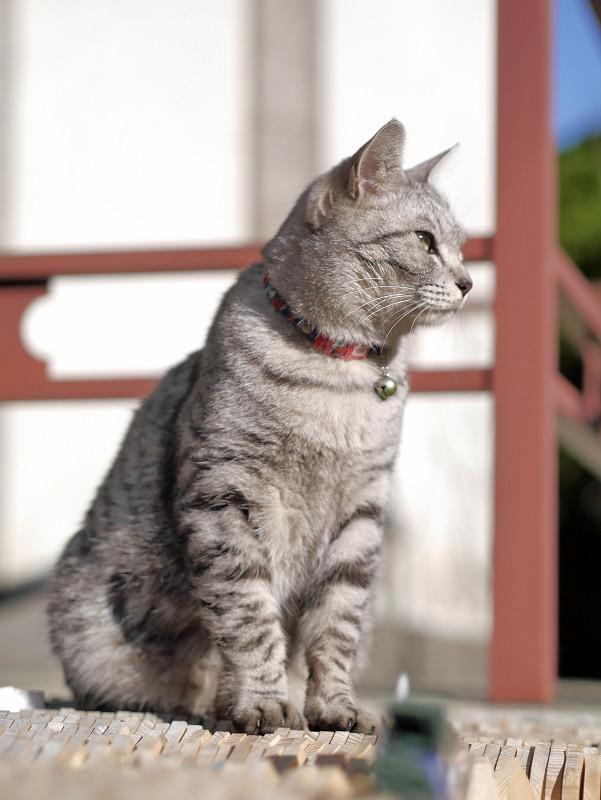 すくっと座るサバトラ猫3