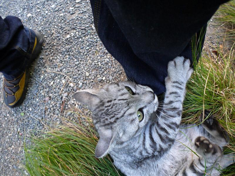 草に乗って暴れるサバトラ猫3
