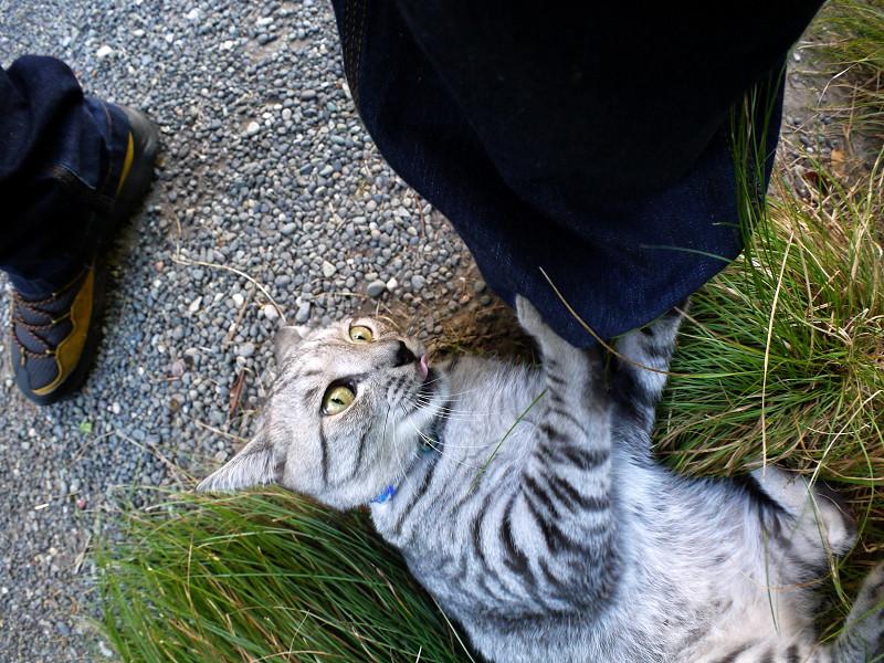 草に乗って暴れるサバトラ猫4