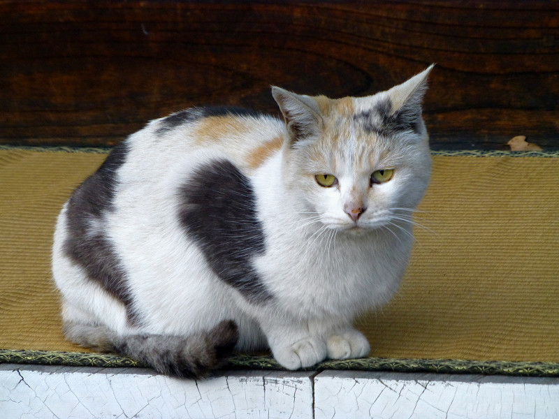 縁側で座る薄い三毛猫
