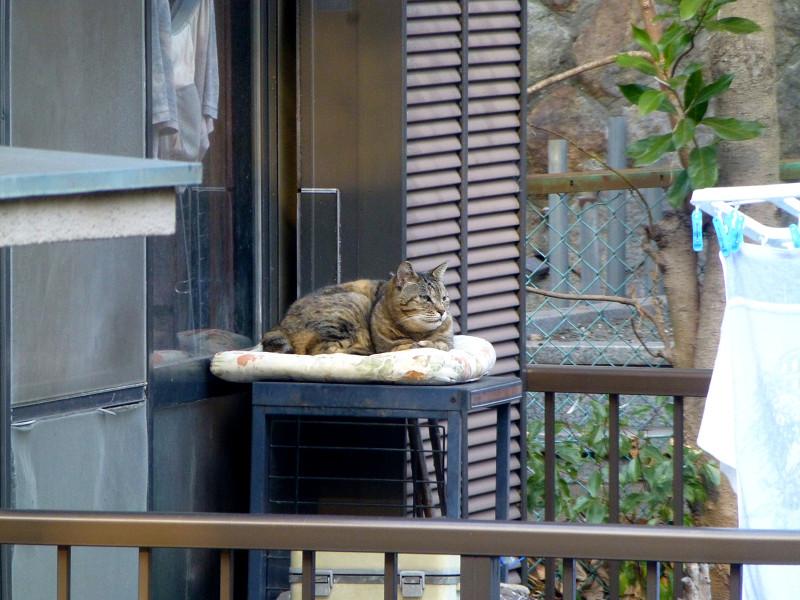 物干しベランダのキジトラ猫1