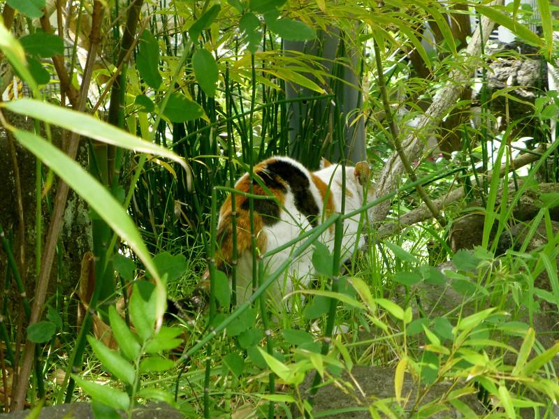 草むらの白三毛猫1