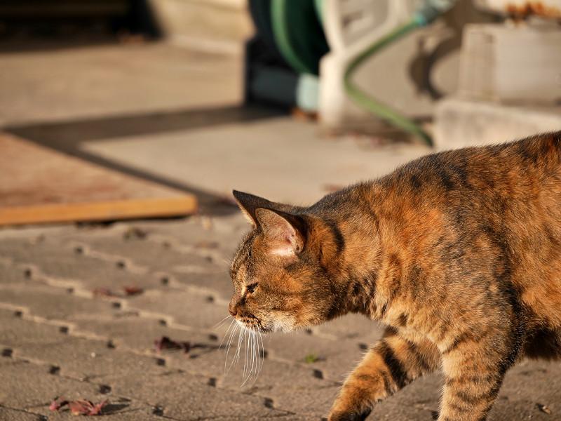 前を横切るサビ柄猫1