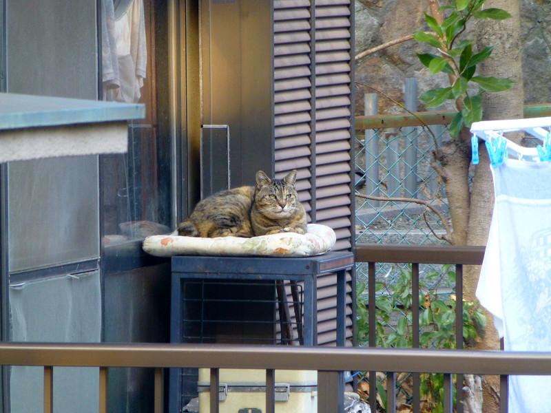 物干しベランダのキジトラ猫2