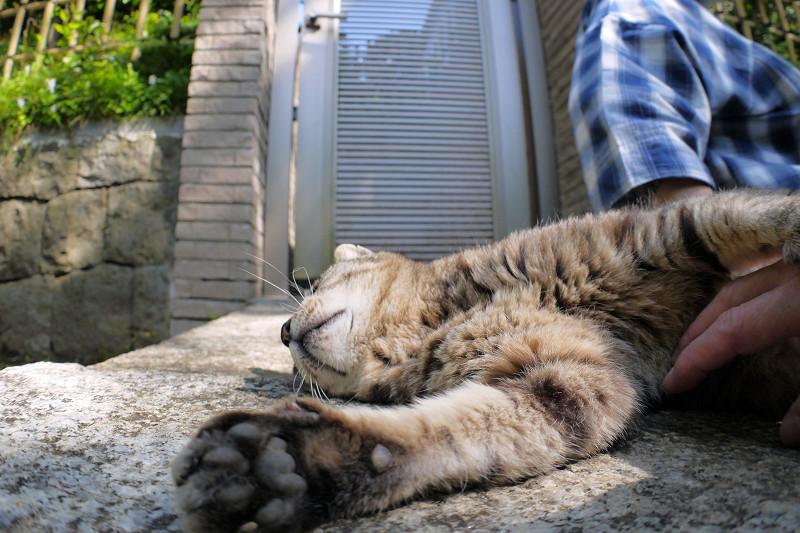 お腹を触らせるキジトラ猫2