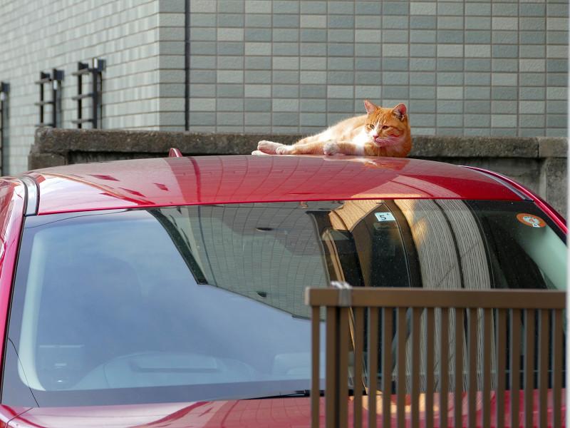 赤い車と茶白猫2