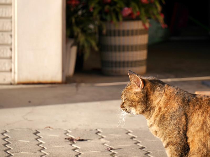 前を横切るサビ柄猫2