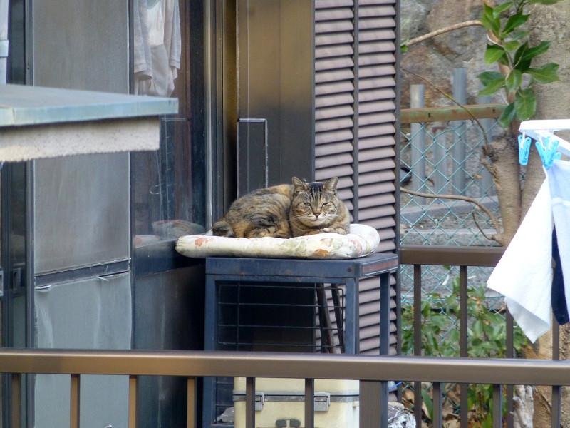 物干しベランダのキジトラ猫3