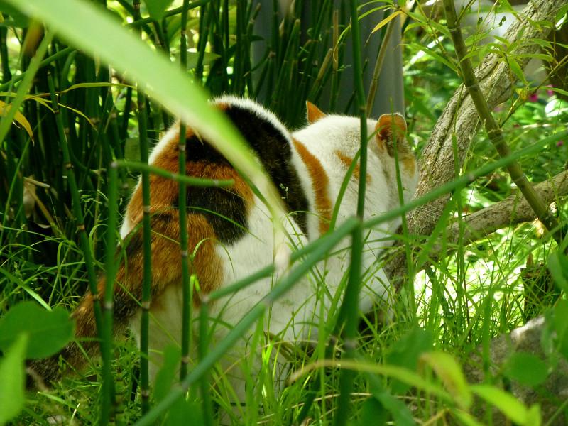 草むらの白三毛猫3