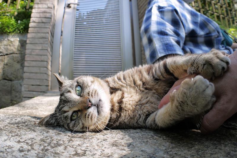 お腹を触らせるキジトラ猫3