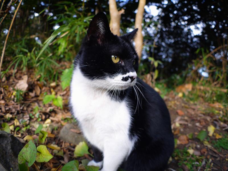 横向きから前向きの黒白猫1