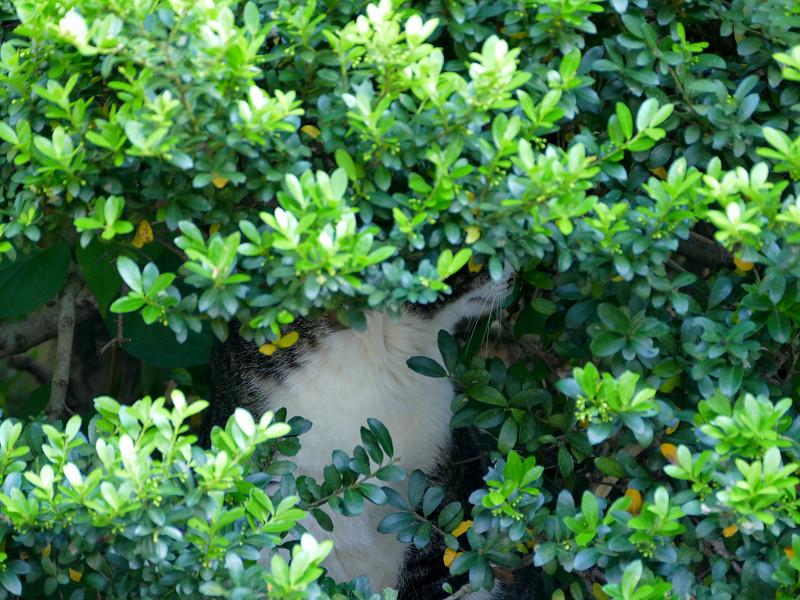 低木の中のキジ白猫1