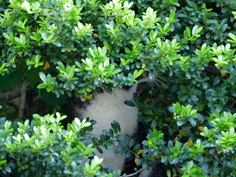 低木の中のキジ白猫2