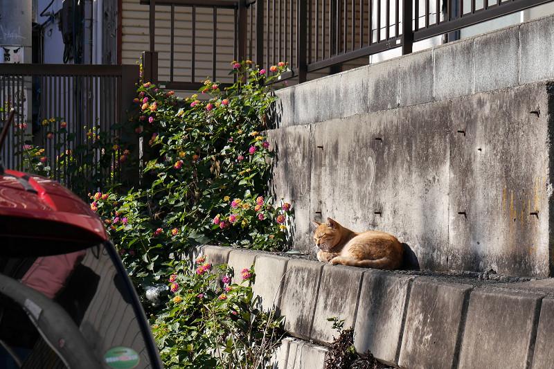 壁の前で寝ている茶白猫