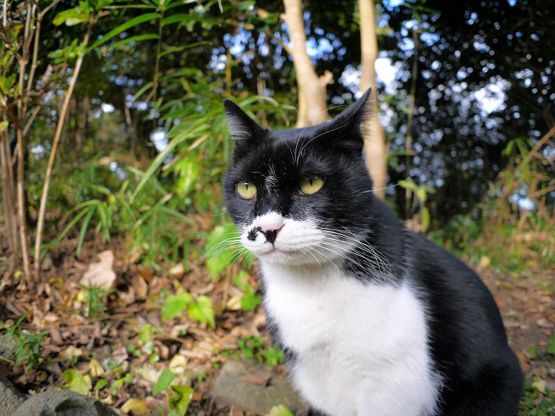 横向きから前向きの黒白猫3