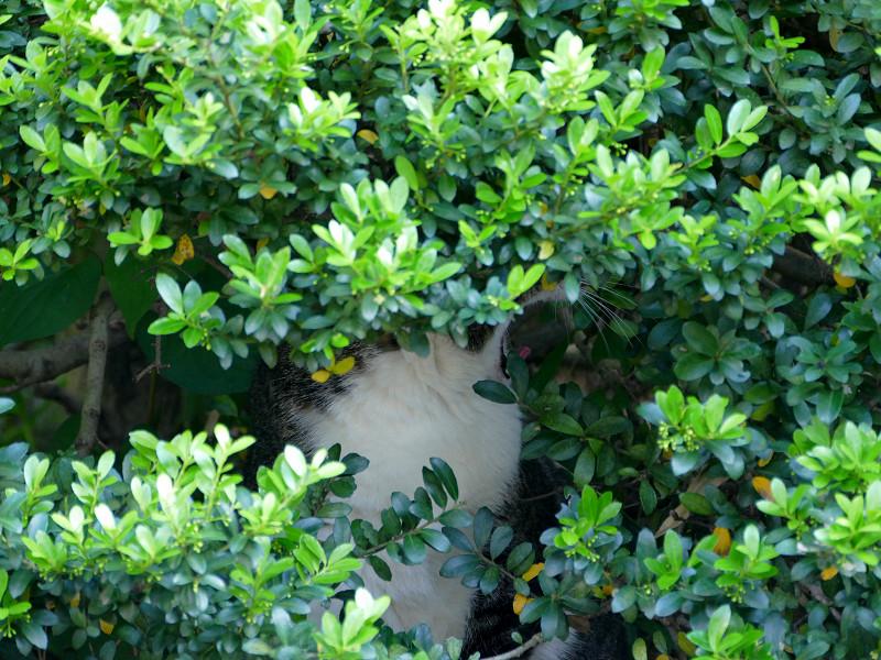 低木の中のキジ白猫3