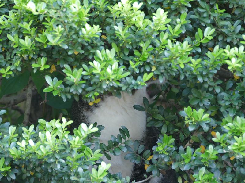 低木の中のキジ白猫4