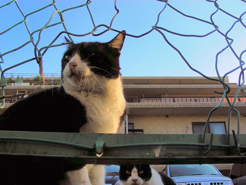 金網の破れ越しの猫たち1