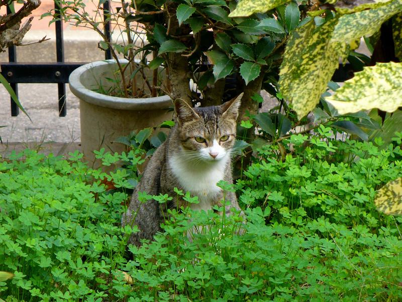繁る草とキジ白猫1