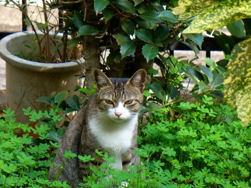 繁る草とキジ白猫2