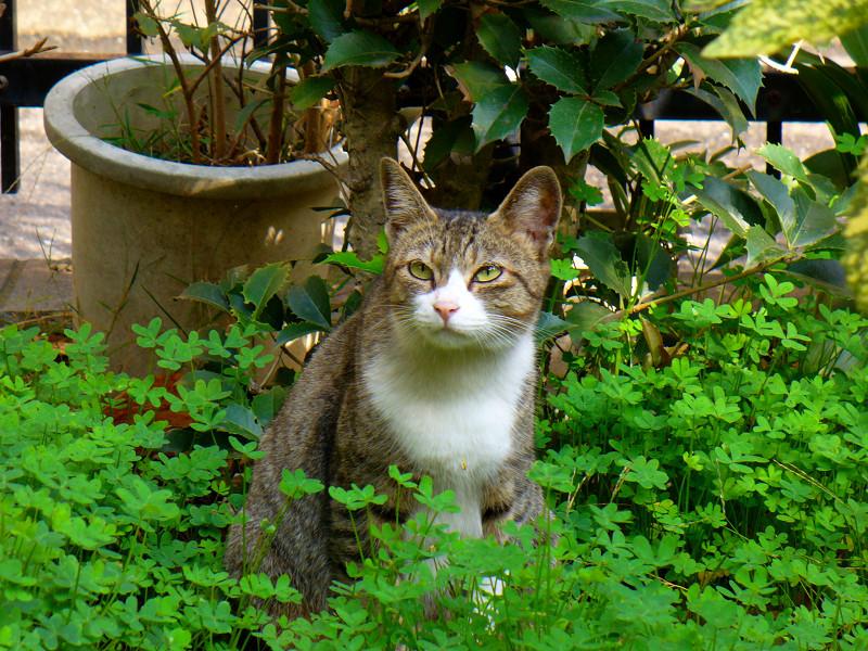繁る草とキジ白猫3