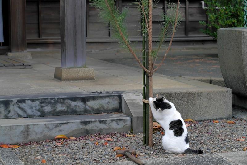 何かをしている白キジ猫1