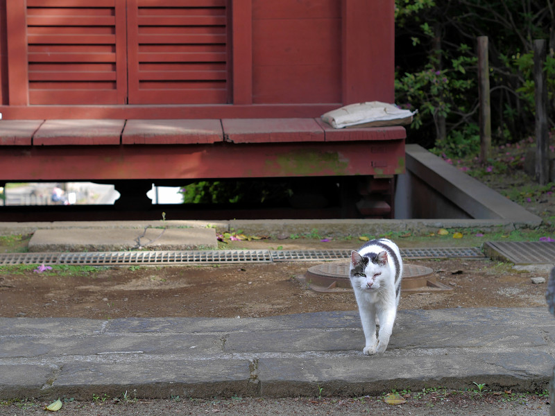 朱色の門と近づく白キジ猫1
