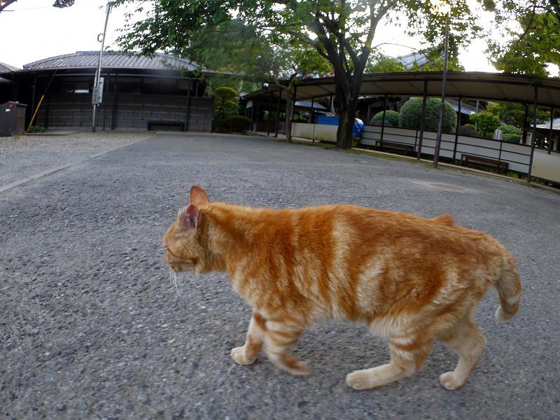 境内を歩くアメショー風の猫1