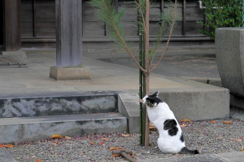 何かをしている白キジ猫2
