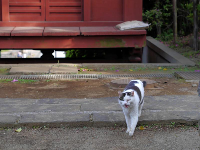 朱色の門と近づく白キジ猫2