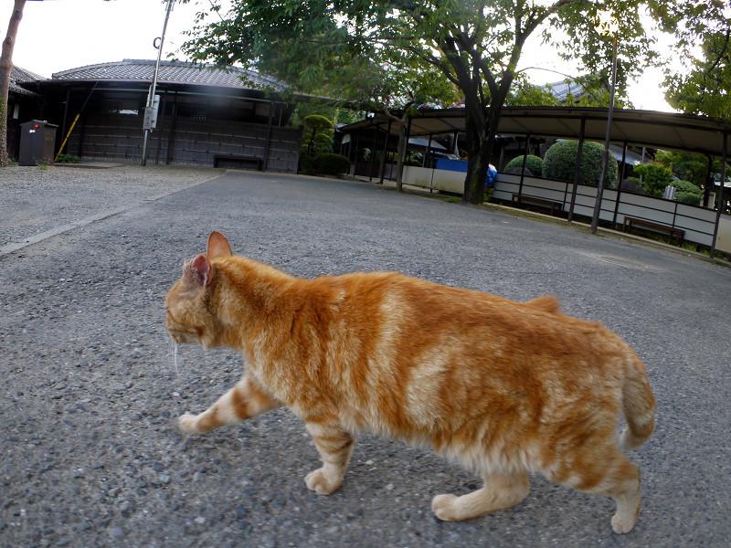 境内を歩くアメショー風の猫2