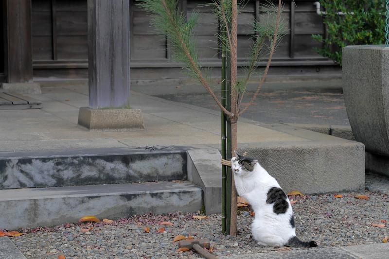 何かをしている白キジ猫3