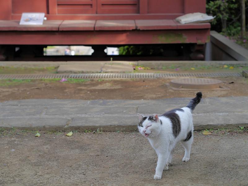 朱色の門と近づく白キジ猫3
