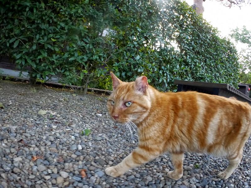 境内を歩くアメショー風の猫3