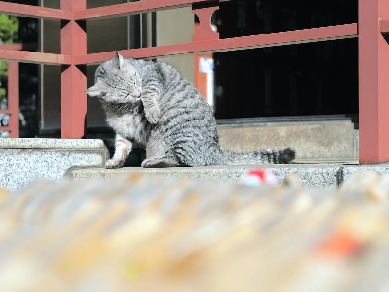 お腹をなめるサバトラ猫2