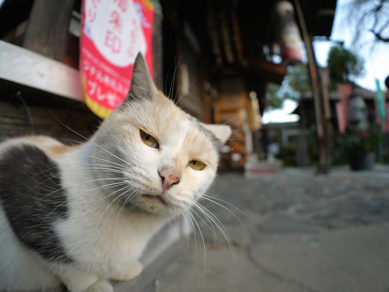 横から見ている薄い柄の三毛猫1