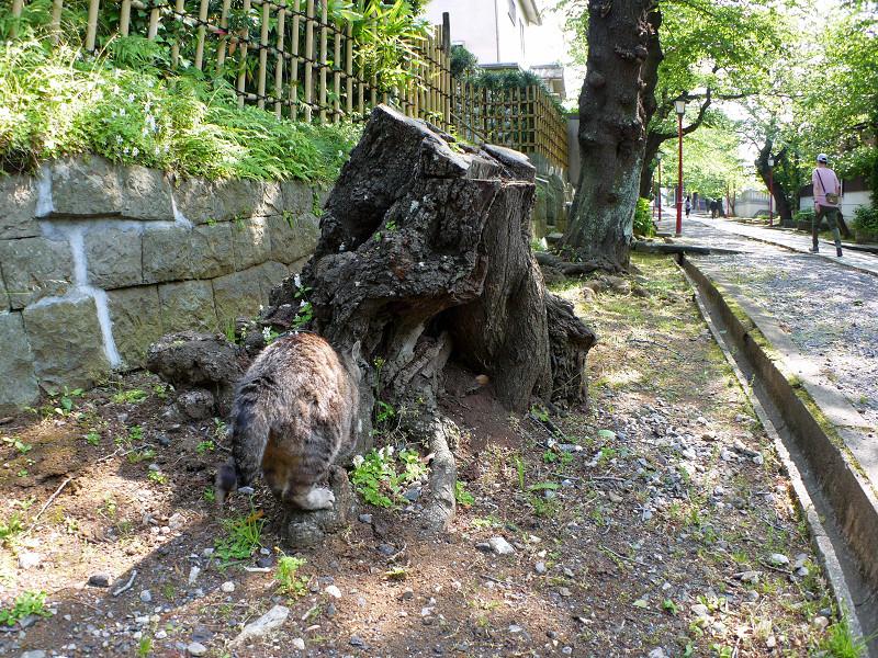 爪研ぎが終わったキジトラ猫1