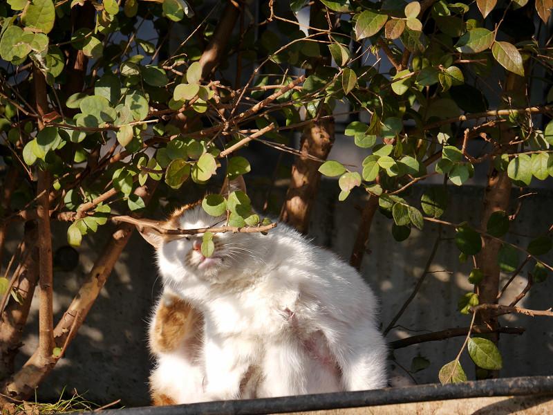 植え込みとカキカキする白茶猫1