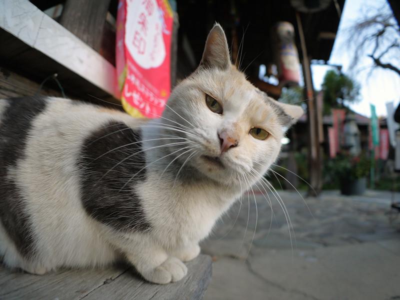 横から見ている薄い柄の三毛猫2