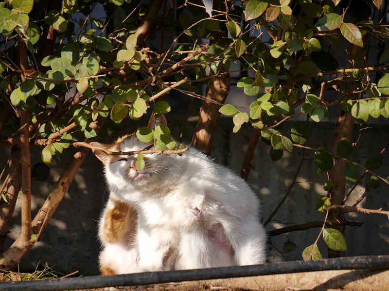 植え込みとカキカキする白茶猫2