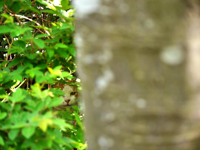 大樹の向こうの茶白猫2