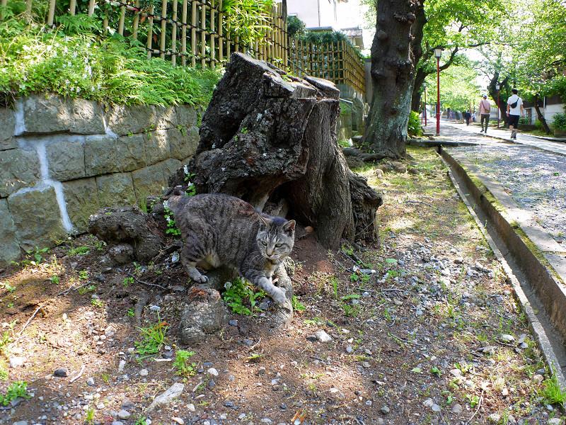 爪研ぎが終わったキジトラ猫3