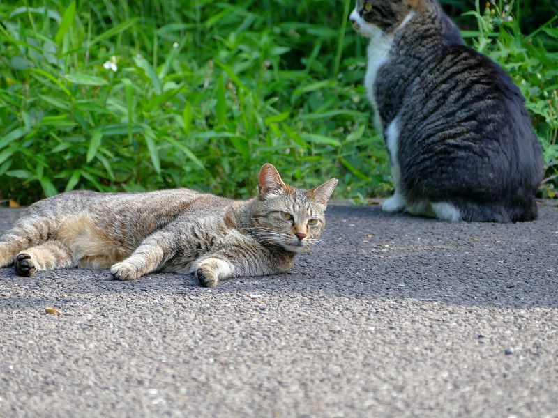 起きるキジトラ猫振り向くキジ白猫