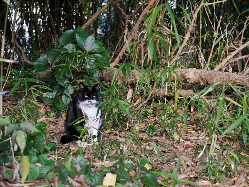 雑木林の黒白猫1